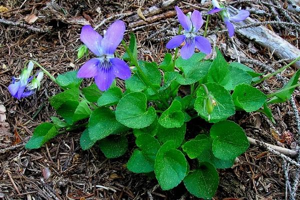 La viola riviniana alias canina una pianta ed un fiore for Pianta fiori viola