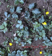 Ranunculus 2.jpg