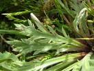 foglie plantago coronopus.jpg
